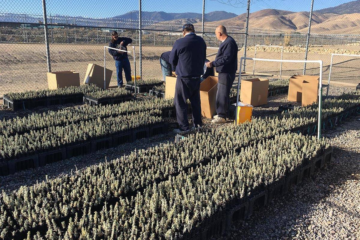 """The """"Sagebrush in Prisons Project"""" is a nationally recognized program where inmates at correcti ..."""