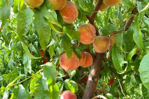 Photo courtesy of UNR Extension Upcoming master gardener workshops will cover a variety of topi ...